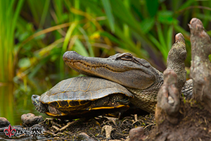 desktop wallpaper of alligator resting its head on a turtle's back at UL Lafayette