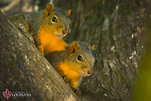 desktop wallpaper of two squirrels looking out on Cypress Lake at UL Lafayette