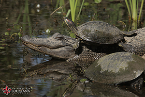 desktop wallpaper of a turtle resting on top of an alligator at UL Lafayette's Cypress Lake