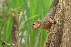 desktop wallpaper of squirrel on a cypress knee at UL Lafayette