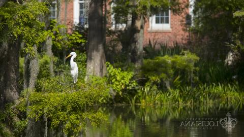 A photo of a white great egret perched in a low bough of a tree in a Cypress Lake on the UL Lafayette campus.