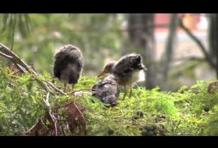 Heron Hatchlings at Cypress Lake