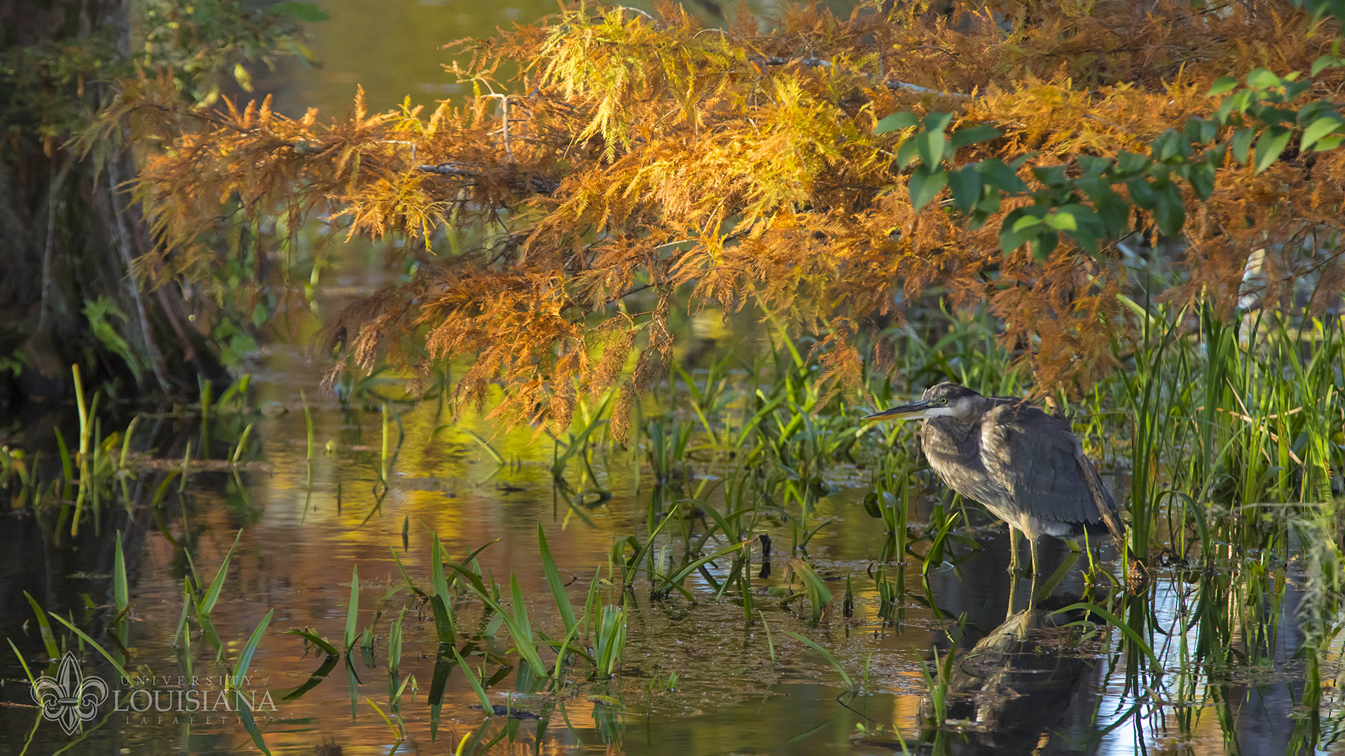 Image of a blue heron perched on a cypress knee in UL Lafayette's Cypress Lake, with fall foliage behind it.